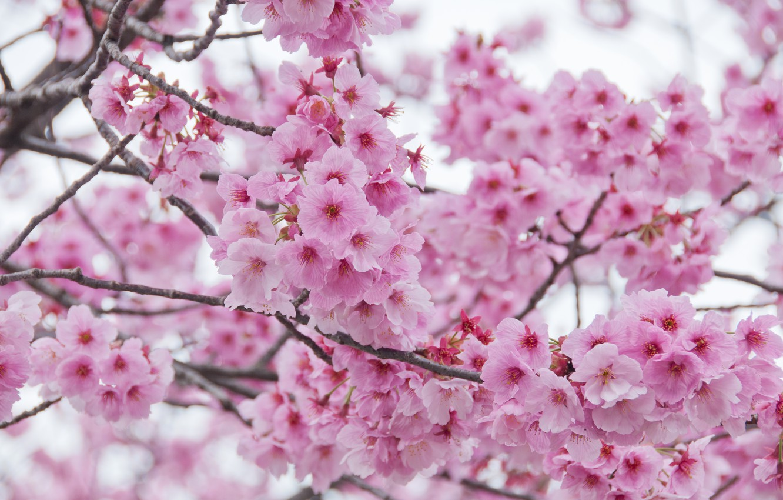 Фото обои ветки, весна, сакура, цветение, pink, blossom, sakura, cherry, spring, bloom