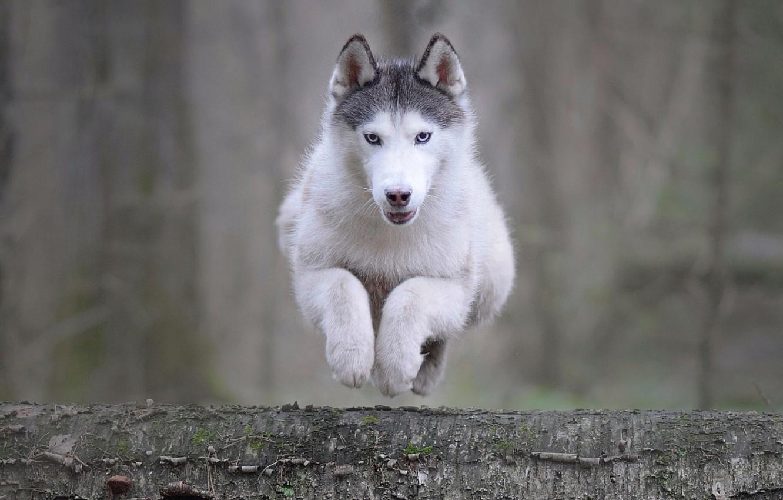 Фото обои животное, прыжок, собака, бревно, хаски, пёс, Мария Яропольская