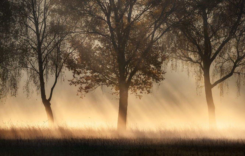 Фото обои лучи, деревья, туман, trees, rays, fog, Kai Hornung