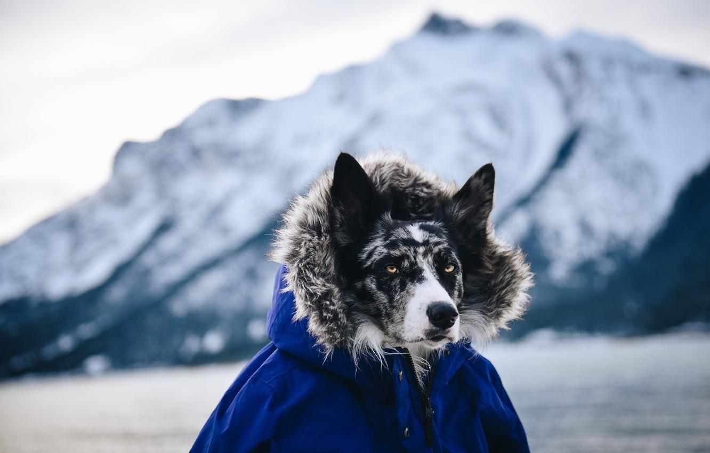 Фото обои взгляд, собака, куртка, капюшон, смотрит