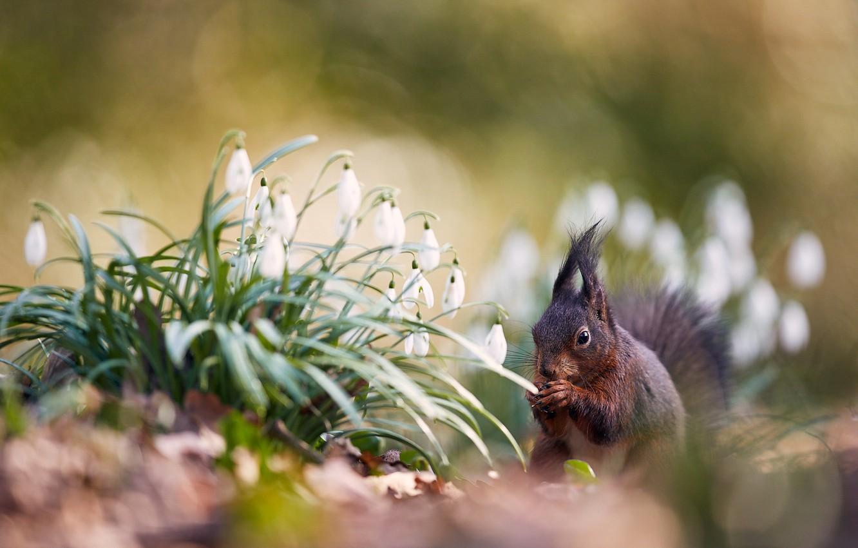 Фото обои цветы, поляна, весна, белка, подснежники, боке