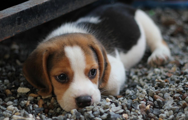 Фото обои взгляд, собака, мордочка, щенок, лежит, puppy, dog, little, looking, beagle