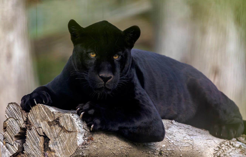 панцирного картинки с изображением черной пантеры счастье