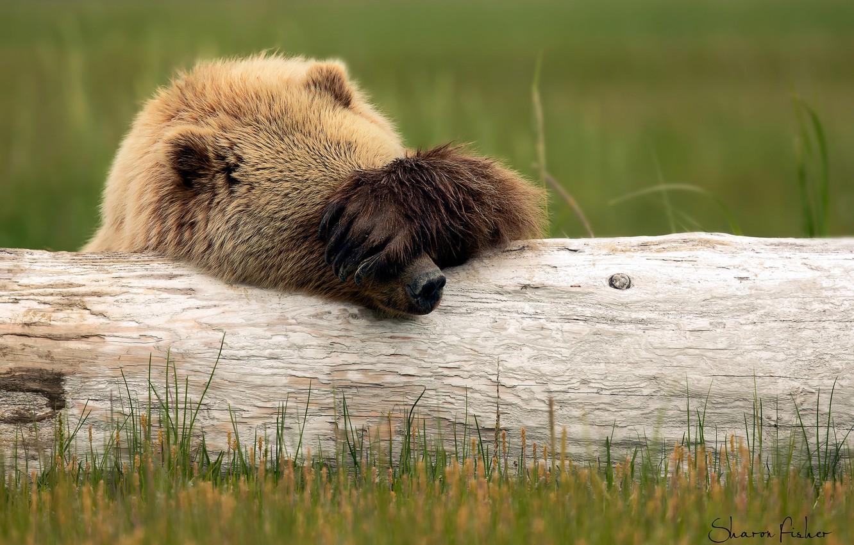 Фото обои лапа, медведь, бревно