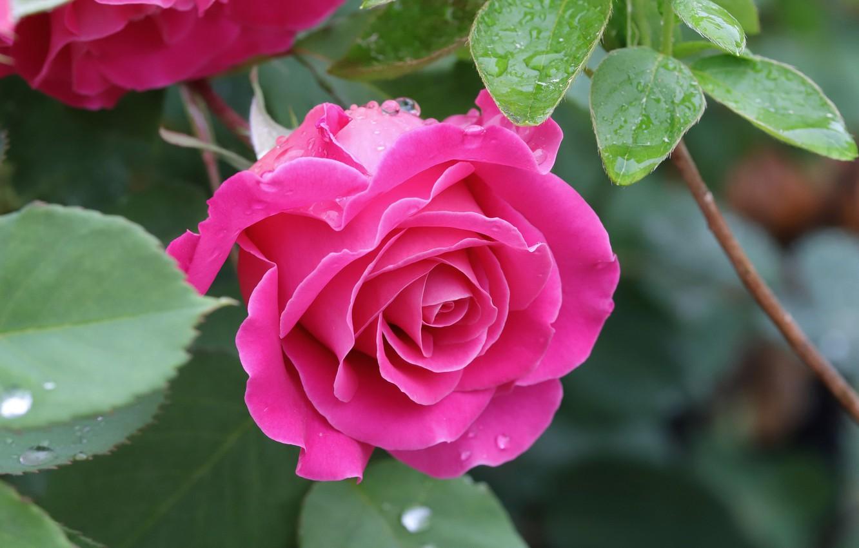 Фото обои листья, капли, макро, роза, лепестки