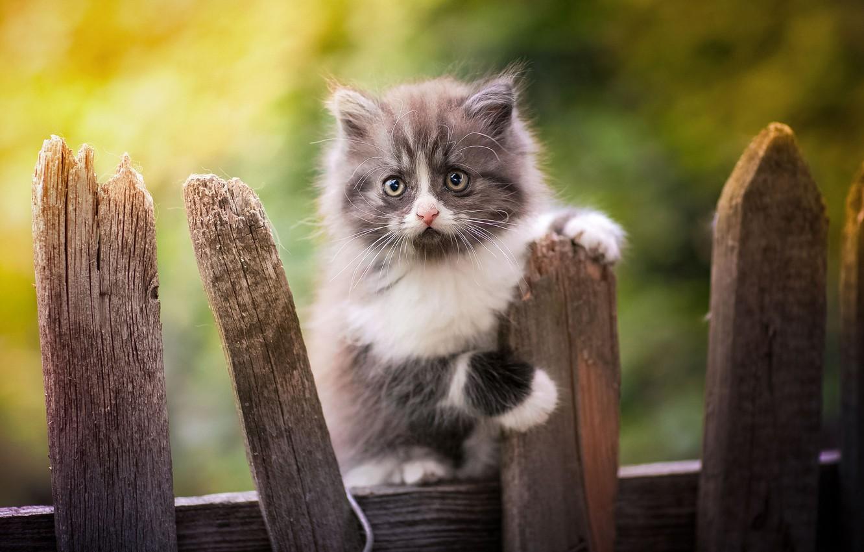 Фото обои взгляд, забор, малыш, котёнок, боке