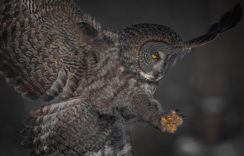 Фото обои фон, сова, птица, крылья, перья, хвост, Бородатая неясыть
