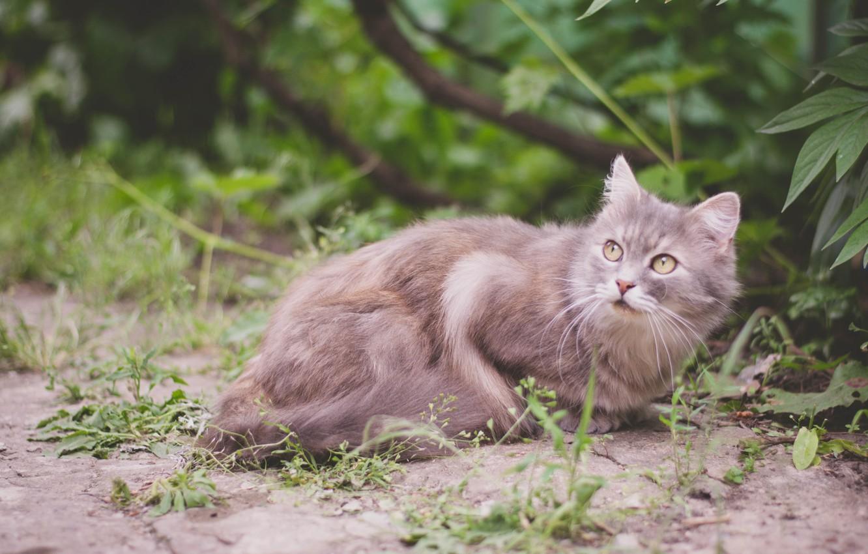 Фото обои кошка, животные, лето, кот, природа