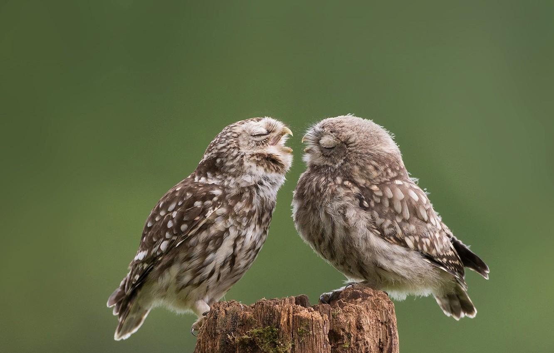Фото обои птицы, сова, детёныш