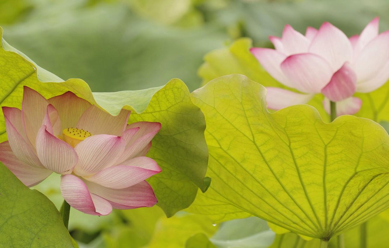 Фото обои листья, природа, лепестки, лотос