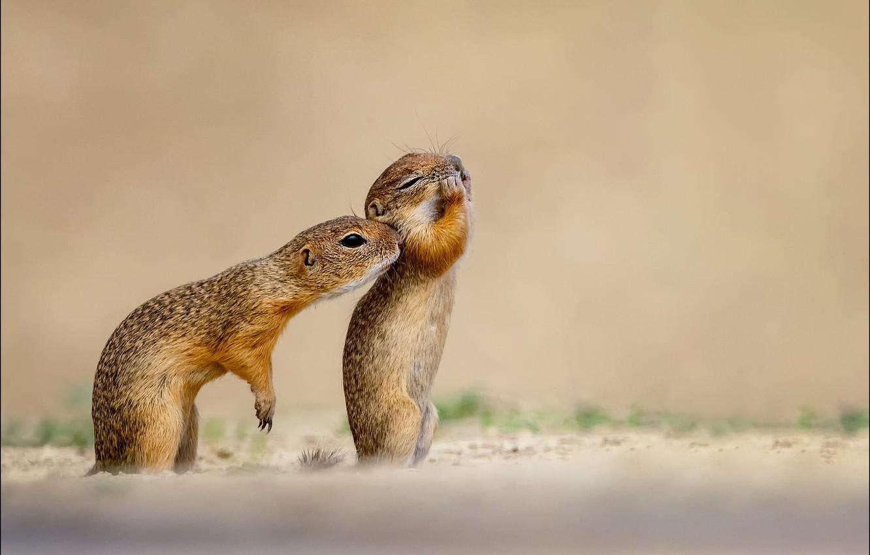 Фото обои зверек, бурундуки, Georg Scharf