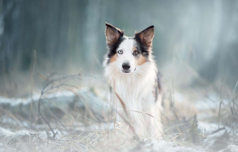 Фото обои зима, иней, лес, трава, взгляд, морда, природа, парк, фон, портрет, собака, светлый, белая, овчарка, размытый, …