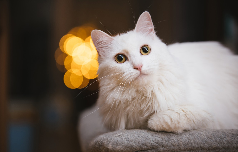 Фото обои кошка, белый, кот, взгляд, морда, фон, темный, портрет, лежит, белая, боке, желтые глаза