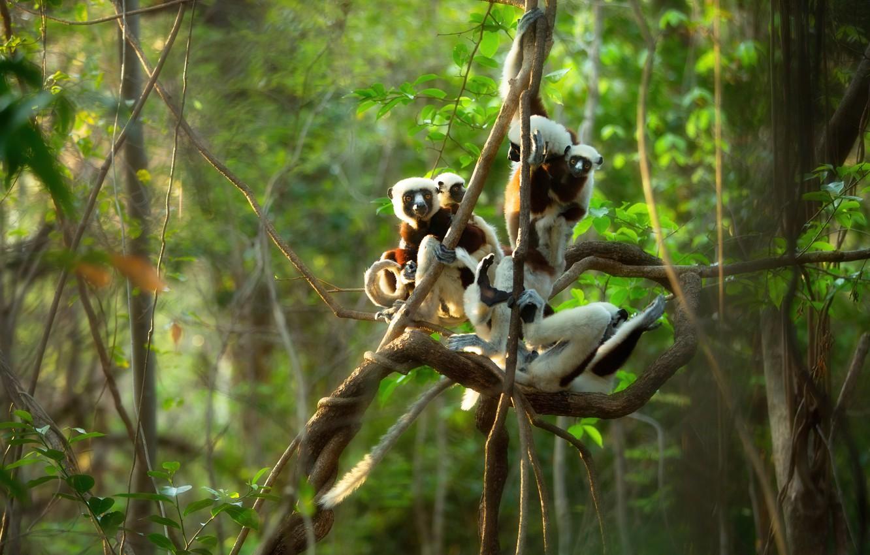 Фото обои лес, ветки, джунгли, лемур, лемуры, компания, позы, лианы