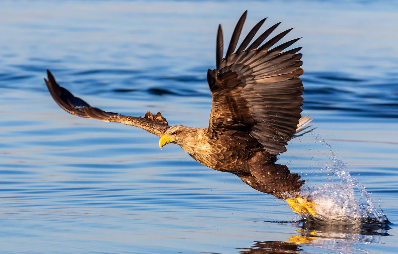 Фото обои Eagle, bird, water, wings, feathers, water drops, animal, reflection, bald eagle, water splash, depth of …