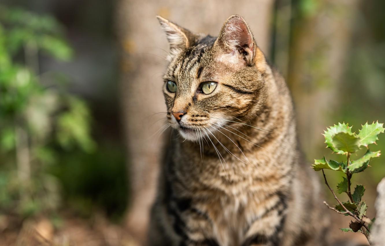 Фото обои кошка, кот, взгляд, морда, природа, серый, фон, дерево, растение, портрет, полосатый, боке