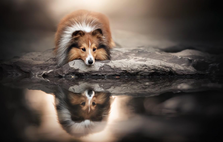 Фото обои морда, вода, отражение, собака, Шелти, Шетландская овчарка