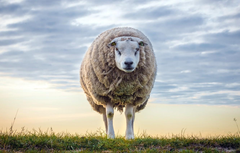 Фото обои небо, природа, овца
