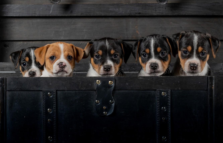 Фото обои щенки, малыши, мордашки, Датско-шведская фермерская собака, пёсики