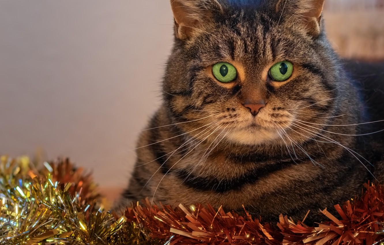 Фото обои кот, праздник, новый год, портрет, мишура