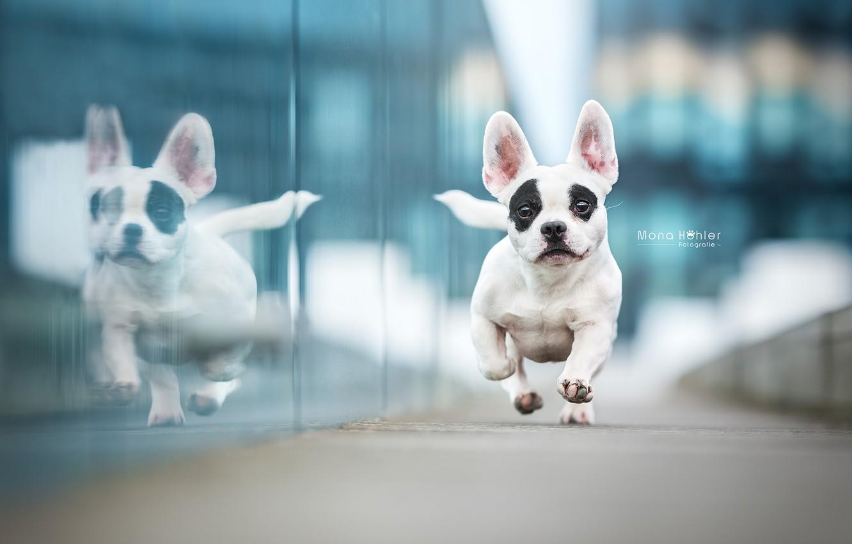 Фото обои отражение, собака, бег, Французский бульдог