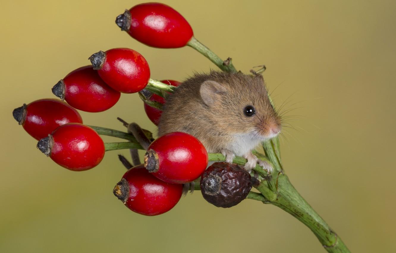 Фото обои мышь, шиповник, кроха