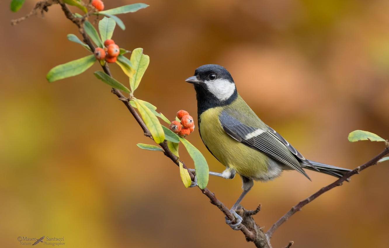 Фото обои природа, ягоды, фон, ветка, птичка, синица