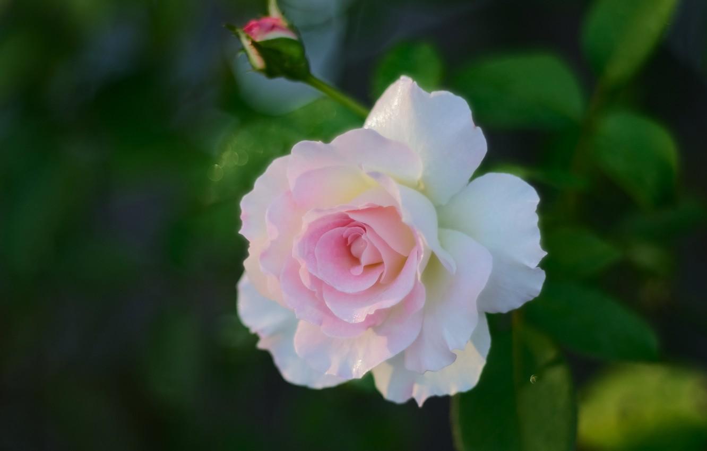 Фото обои нежность, роза, лепестки, бутон, боке