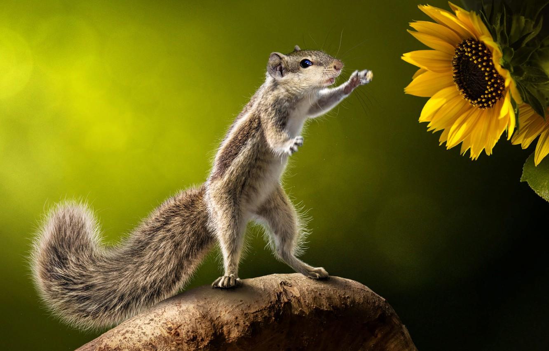 Фото обои цветы, природа, поза, белка, зверёк, грызун