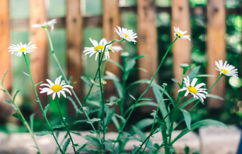 Фото обои зелень, лето, цветы, природа, ромашки