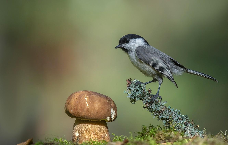 Фото обои фон, птица, гриб, боке, гаичка, Андрей Киселёв