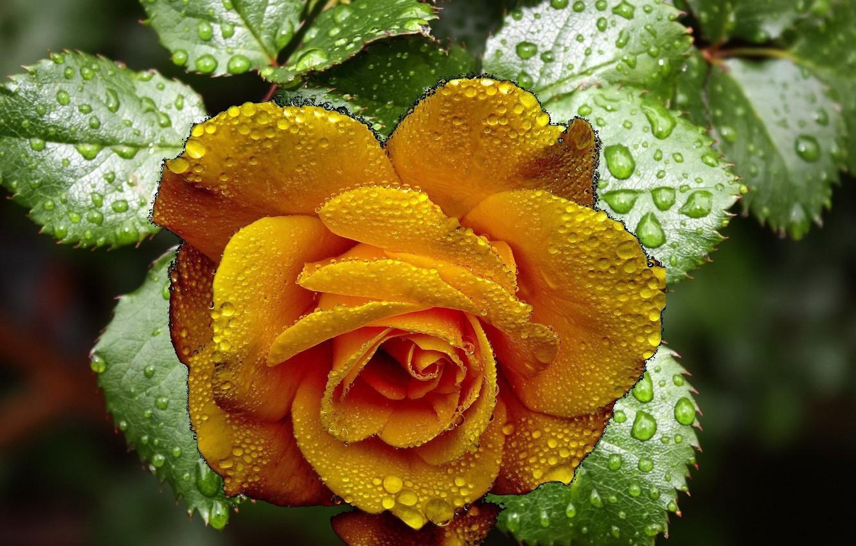 Фото обои цветок, роза, жёлтая