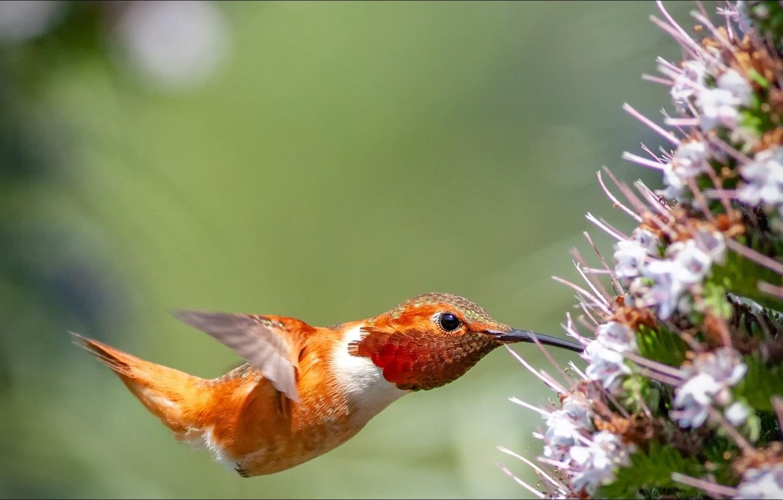 Фото обои flower, nature, bird, Animals, hummingbird
