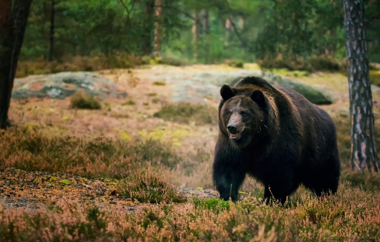 Фото обои лес, деревья, медведь, мишка, прогулка, бурый
