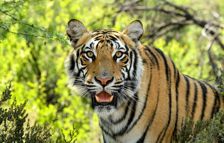 Фото обои взгляд, морда, тигр, хищник, дикая кошка