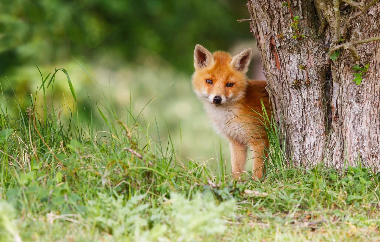 Фото обои трава, природа, поза, зеленый, фон, дерево, лапы, малыш, рыжий, мордочка, лиса, милый, кора, мордашка, детеныш, …