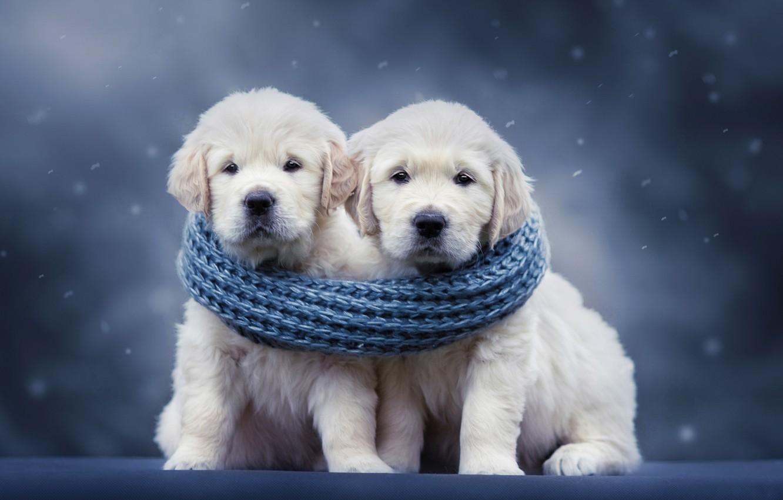Фото обои собаки, фон, шарф, щенки, парочка, Голден ретривер, Золотистый ретривер, Наталья Ляйс