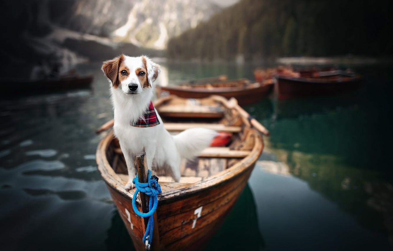 Фото обои вода, природа, озеро, животное, собака, лодки, пёс