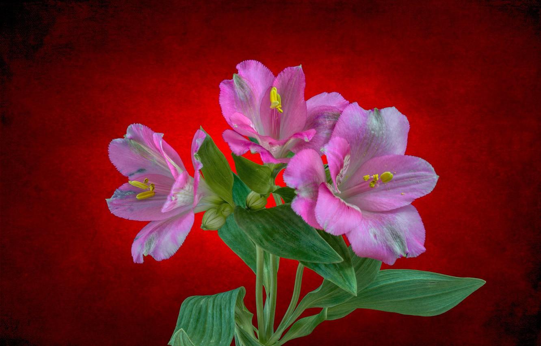 Фото обои листья, цветы, фон, подсветка, Альстрёмерия