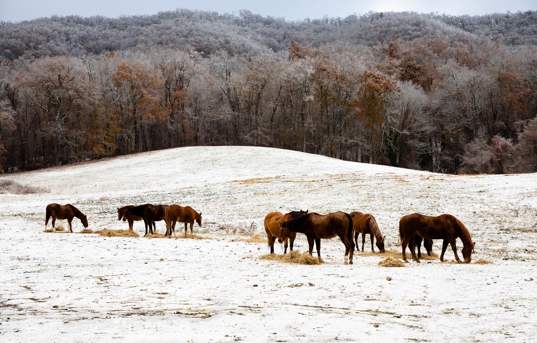 Фото обои зима, иней, поле, лес, снег, деревья, пейзаж, природа, конь, холмы, лошадь, кони, лошади, пастбище, сено, …