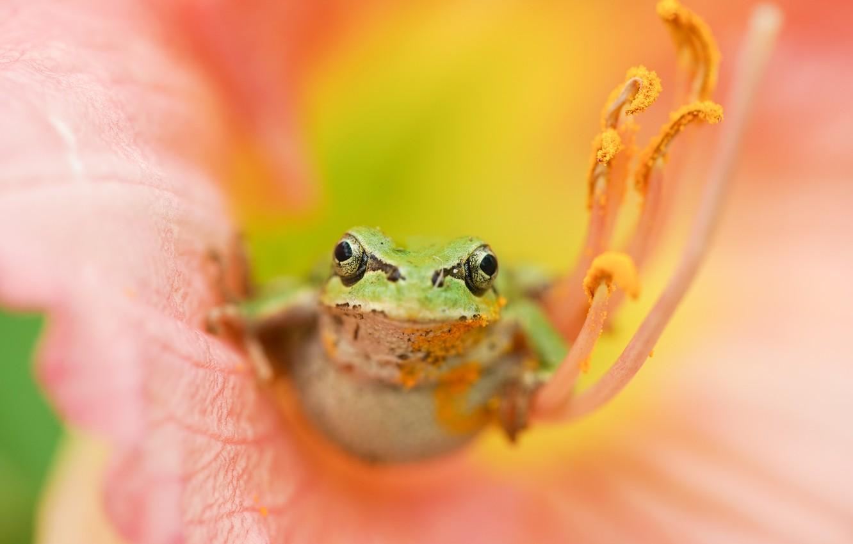 Фото обои цветок, природа, лягушка