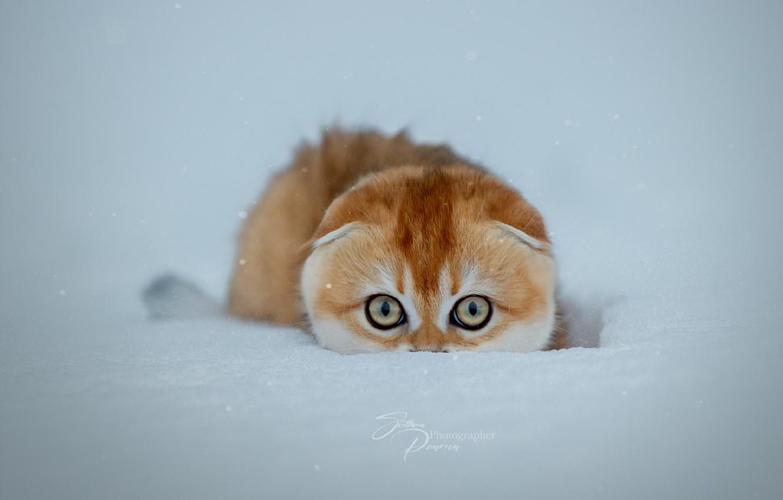 Фото обои зима, кошка, снег