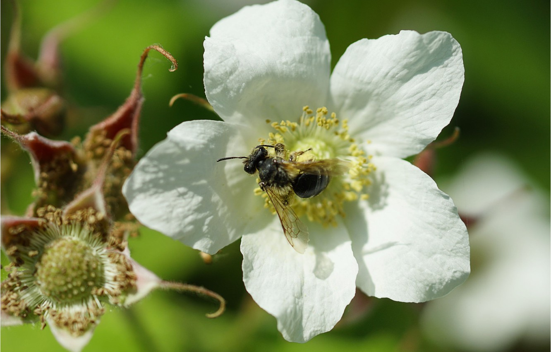 Фото обои цветок, пчела, flower, bee