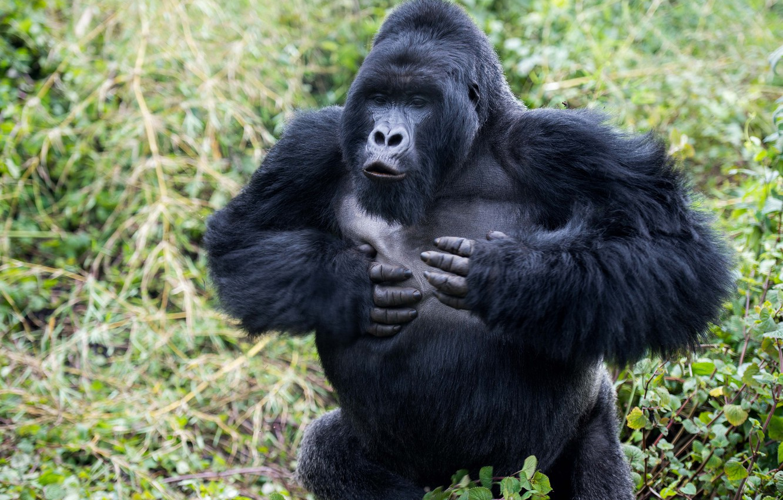 момент, картинки про горилл никогда