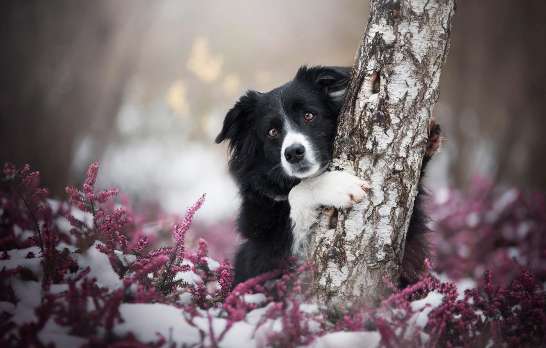Фото обои зима, осень, лес, взгляд, морда, снег, цветы, поза, фон, дерево, поляна, черно-белая, портрет, собака, лапы, …