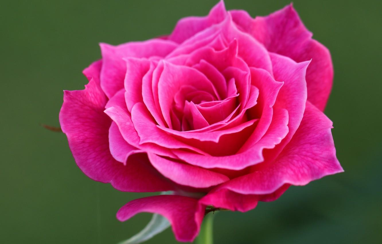 Фото обои макро, фон, роза, лепестки, бутон