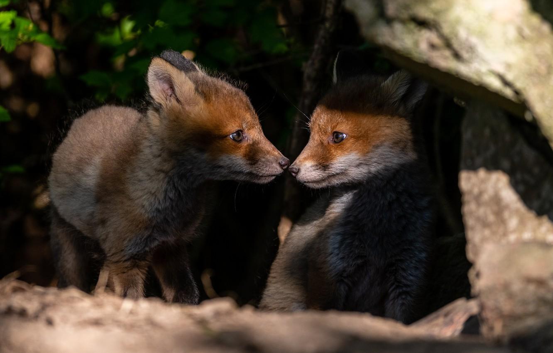 Фото обои животные, природа, камни, малыши, парочка, детёныши, лисята