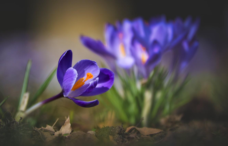 Фото обои макро, природа, весна, крокусы, первоцветы
