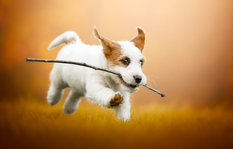 Фото обои осень, трава, взгляд, морда, радость, оранжевый, желтый, поза, веточка, фон, поляна, собака, позитив, малыш, бег, …