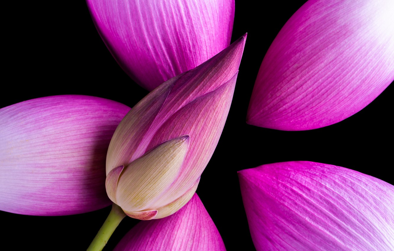Фото обои макро, лепестки, бутон, лотос, flower, pink, lotus, petals
